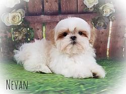 Shih Tzu Male Puppy - Nevan