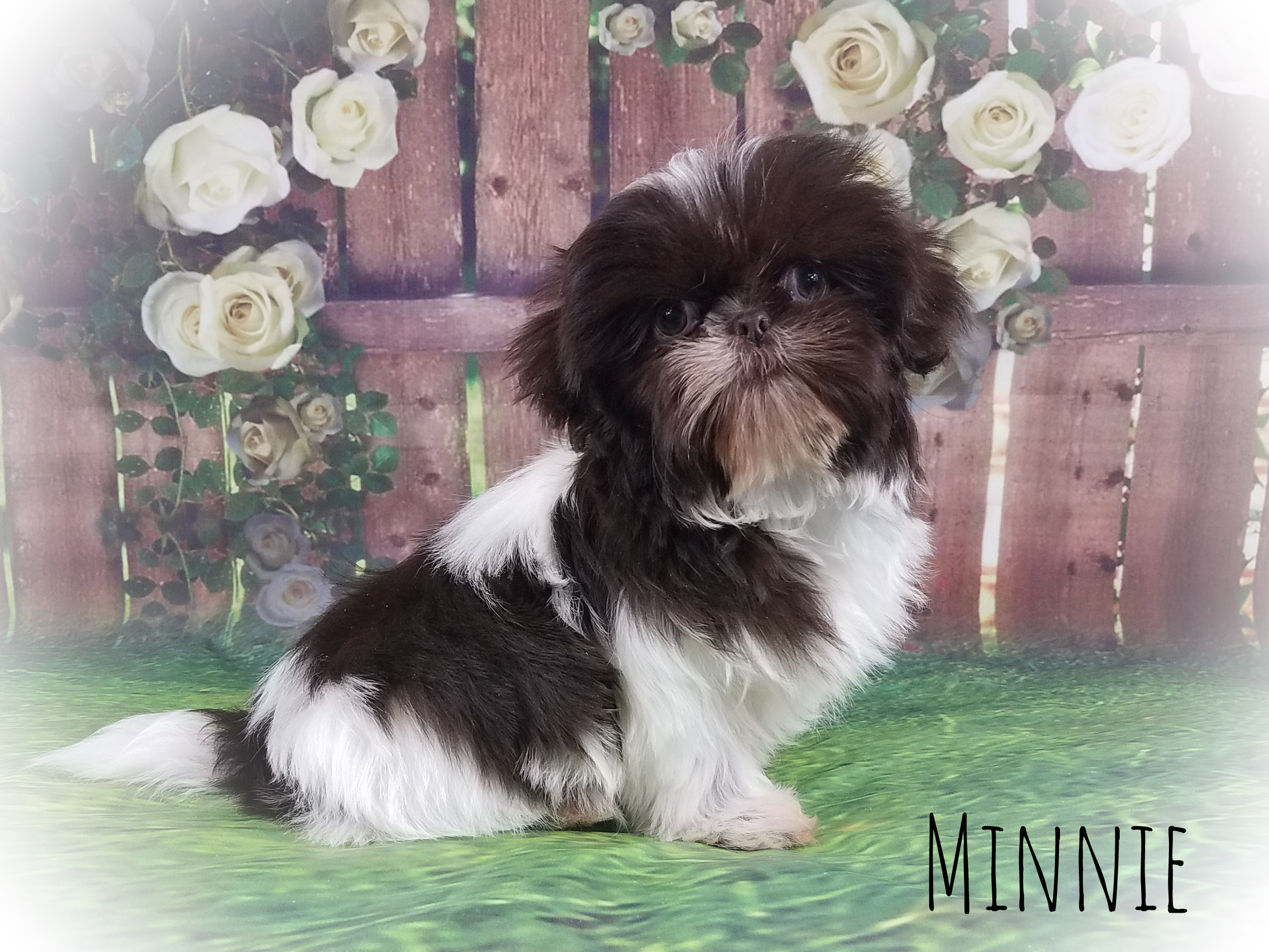 Shih Tzu Female Puppy - Minnie