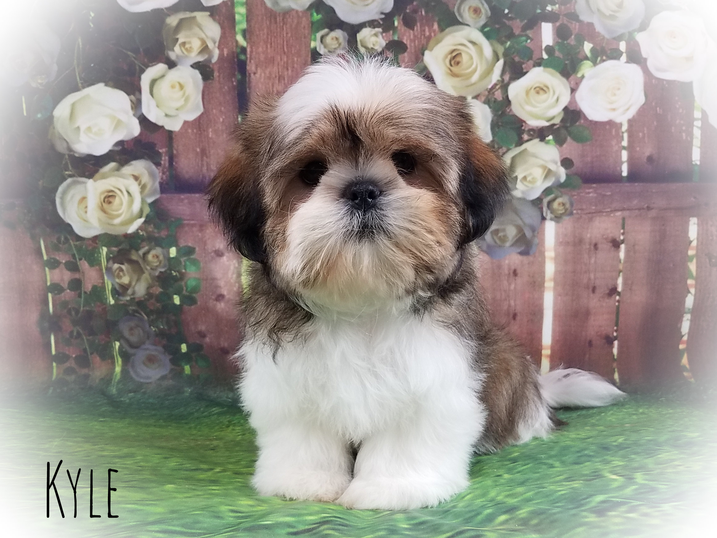 Shih Tzu Male Puppy - Kyle