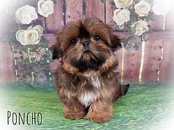 Shih Tzu Male Puppy - Poncho