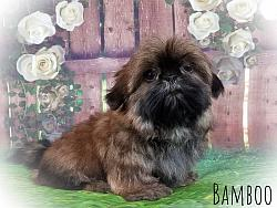 Shih Tzu Male Puppy - Bamboo