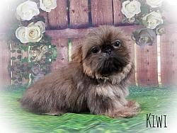 Imperial Shih Tzu Male Puppy - Kiwi
