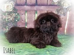 Imperial Shih Tzu Female Puppy