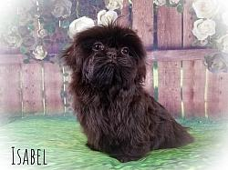 Imperial Shih Tzu Female Puppy - Isabel