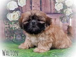 Shih Tzu Male Puppy - Walton