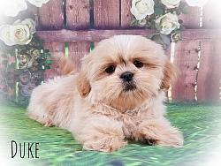 Shih Tzu Male Puppy - Duke