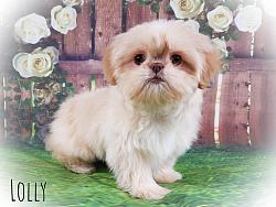 Shih Tzu Female Puppy - Lolly