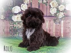 Shih Tzu Male Puppy - Rolo