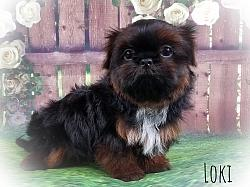 Shih Tzu Male Puppy - Loki