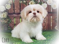Shih Tzu Male Puppy - Cory