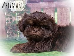 Shih Tzu Male Puppy - Whitman