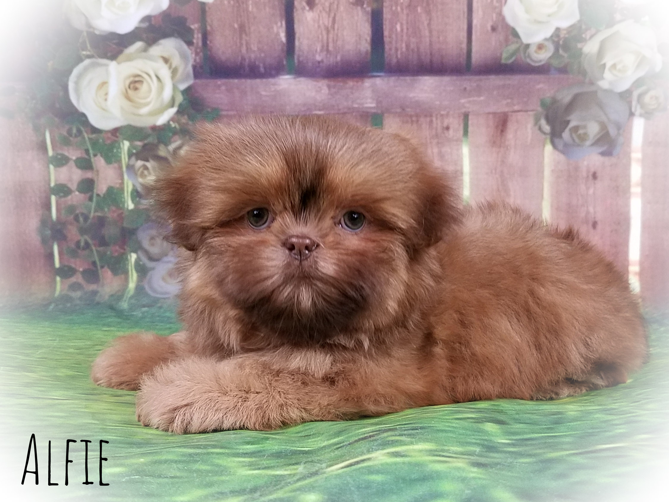 Shih Tzu Male Puppy - Alfie