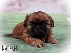Shih Tzu Male Puppy - Nathan