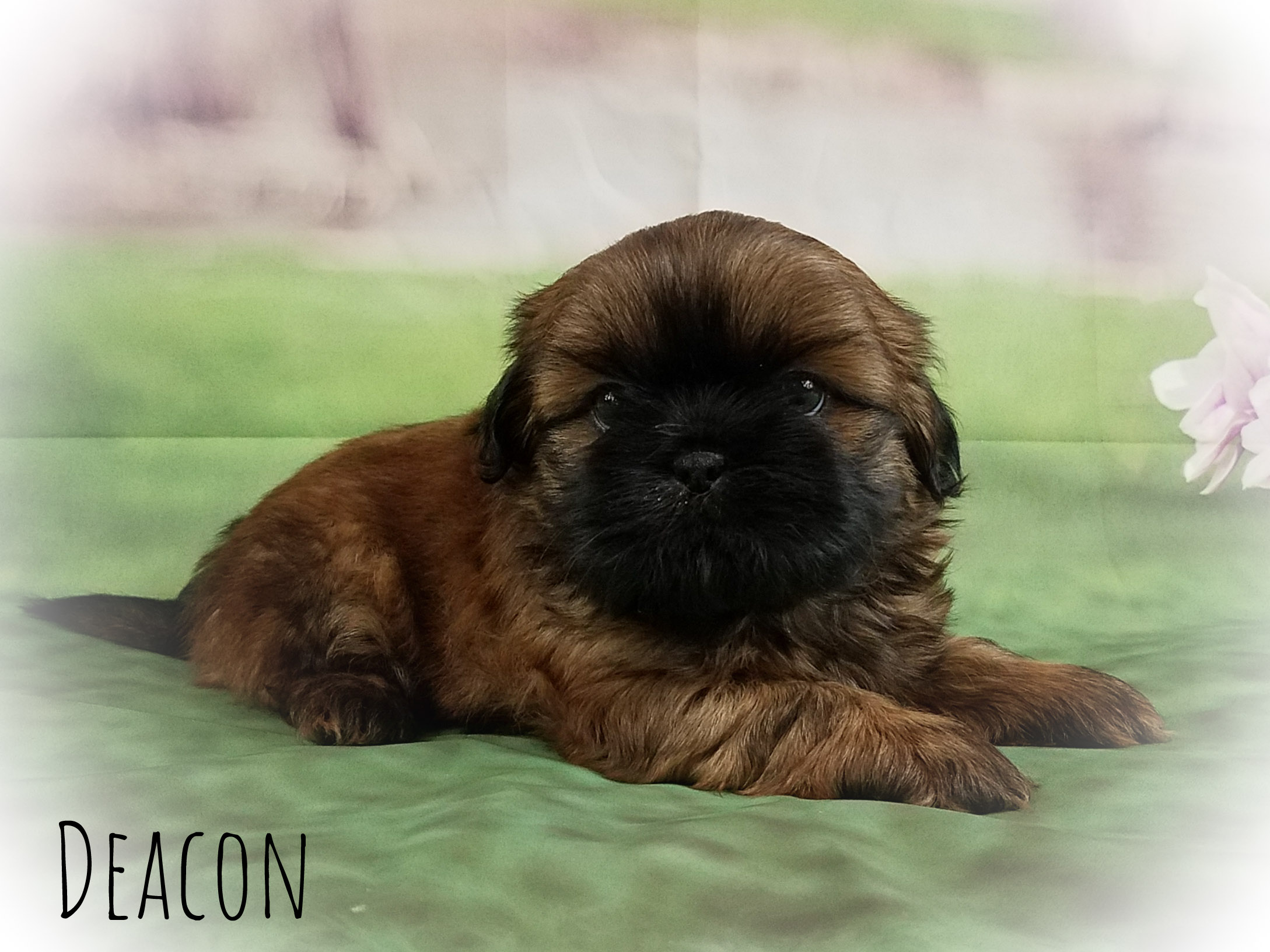 Shih Tzu Male Puppy - Deacon