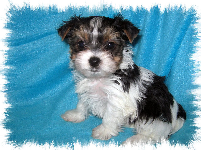 party yorkshire terrier akc parti yorkshire terrier female puppy for sale in 6607