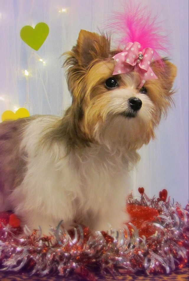 Akc Golden Gold Sable Parti Yorkshire Terrier Female Puppy For Sale