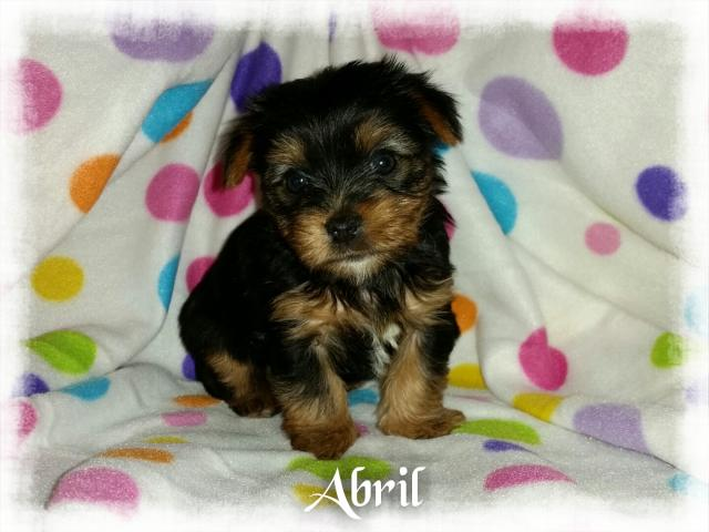 AKC Yorkshire Terrier Female Puppy - Abril