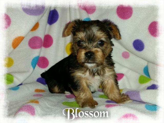 AKC Yorkshire Terrier Female Puppy - Blossom