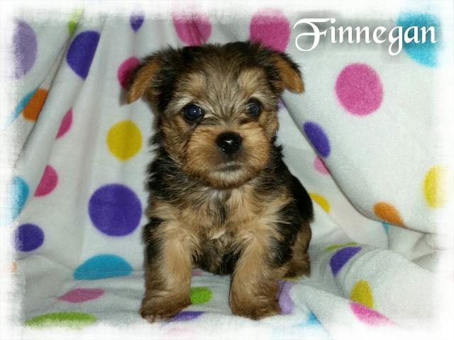AKC Yorkshire Terrier Male Puppy - Finnegan
