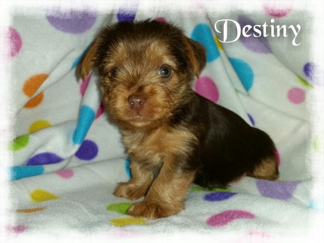 AKC Chocolate Yorkshire Terrier Female Puppy - Destiny