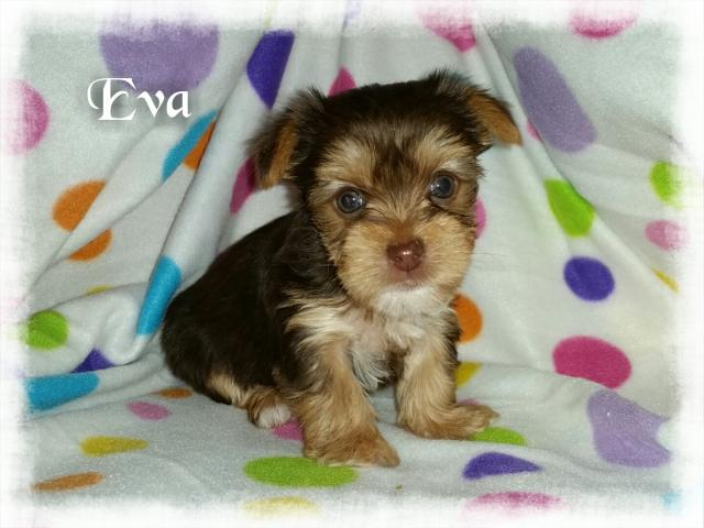 AKC Chocolate Yorkshire Terrier Female Puppy - Eva