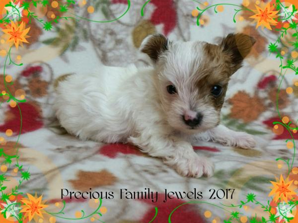 AKC Gold Parti Yorkshire Terrier Male Puppy - Echo