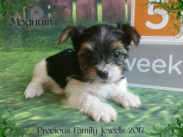 Akc Parti Yorkshire Terrier Male Puppy For Sale In Virginia Magnum