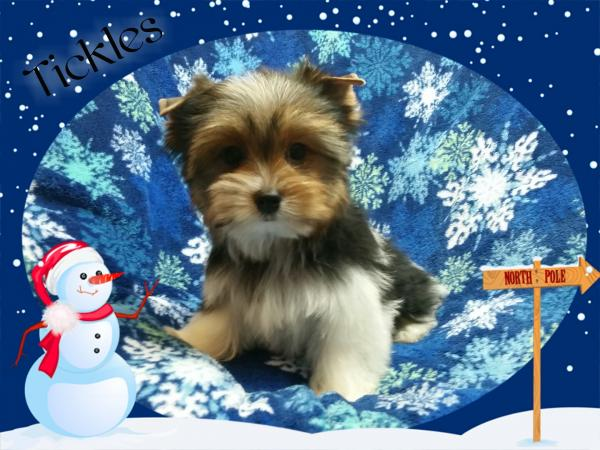 AKC Parti Yorkshire Terrier Male Puppy - Tickles