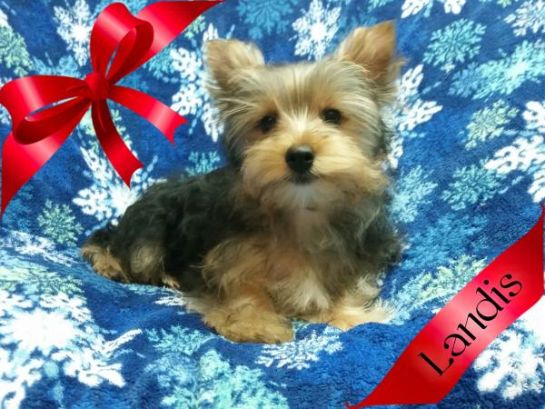 AKC Yorkshire Terrier Male Puppy - Landis