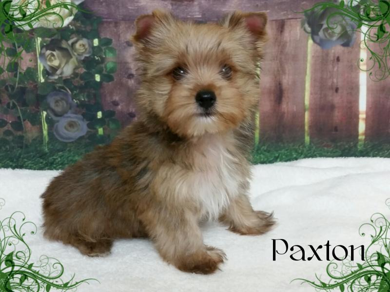 AKC Gold Sable Yorkshire Terrier Male Puppy - Paxton