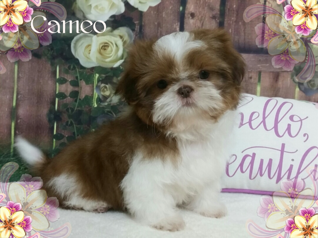 Akc Shih Tzu Female Imperial Puppy For Sale In Virginia Cameo