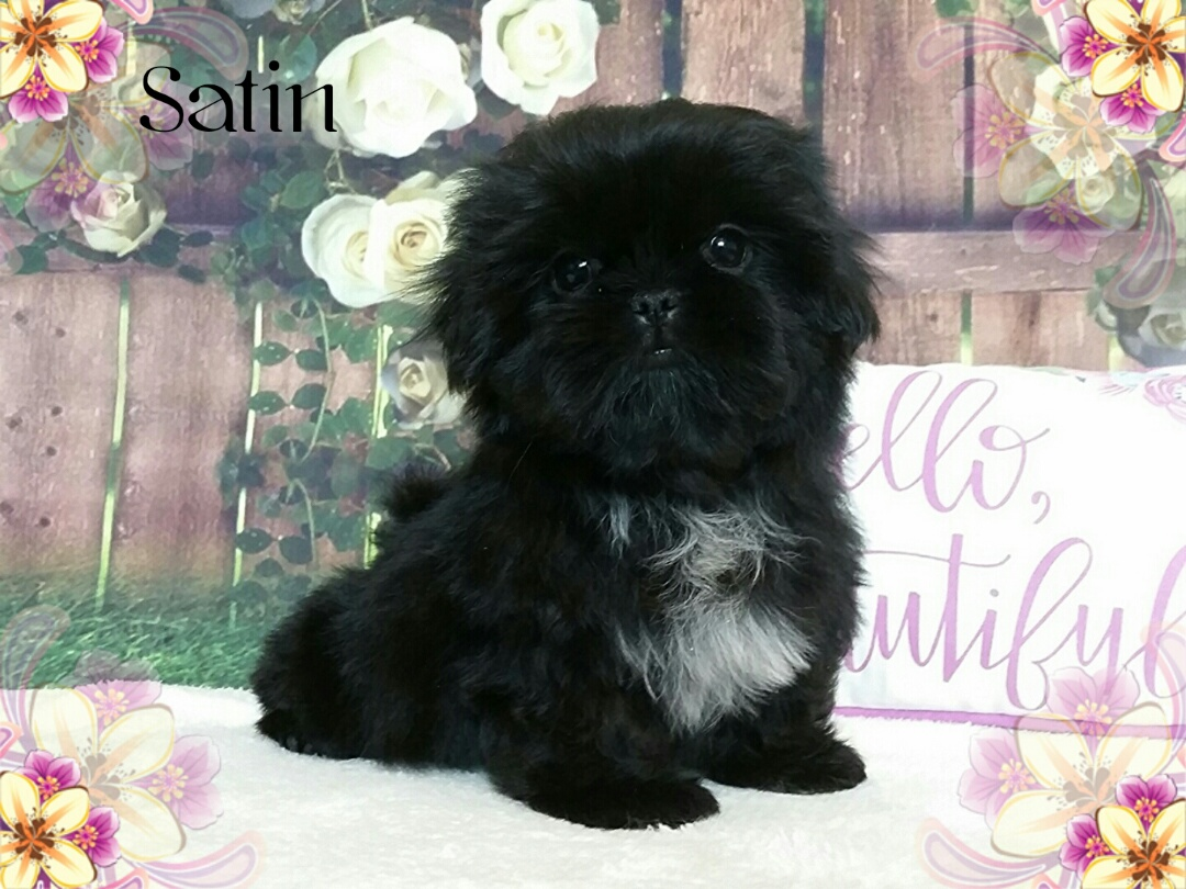 Imperial Female Shih Tzu Puppy For In Virginia Satin