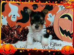 Parti Yorkshire Terrier Male Puppy - Oliver